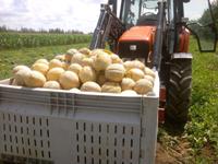 Tracteur transportant des melons